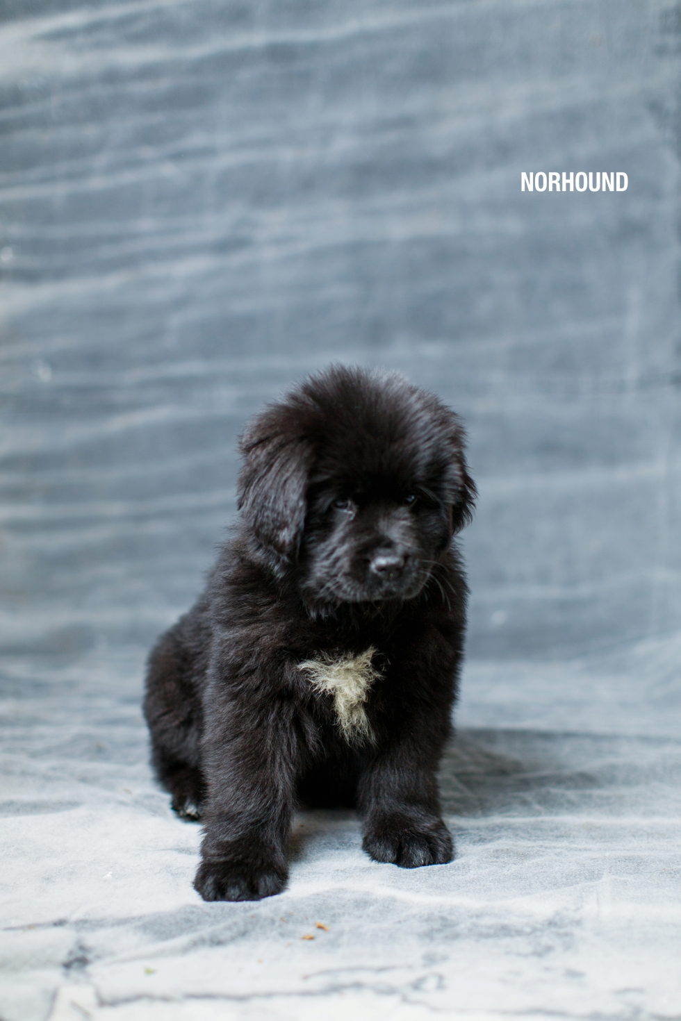 Margot the Newfoundland